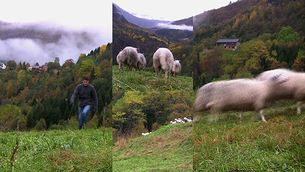 Perverted into Tyranny, 2010, video still, four-channel split screen<br><br>Go to menu, click VIDEOS, to watch excerpts<br><br>On a Norwegian farm, I attempt to herd sheep and experience their free will as an inherent instinct. Faced with a perceived threat, life escapes or fights.
